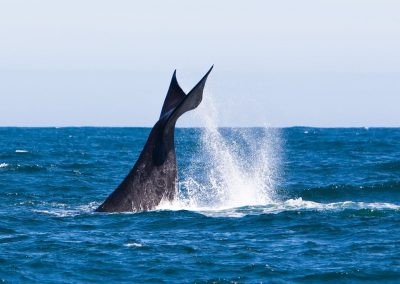 Souther Right Whale Hermanus