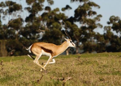 Springbok running at Villiera Wine Farm